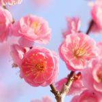 東京都内で楽しむお花見「梅まつり」梅の木が多いスポット5選【2018】